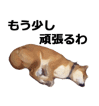 しゃべる柴犬(日常会話編1)(個別スタンプ:02)