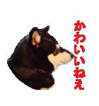 しゃべる柴犬(日常会話編1)(個別スタンプ:11)