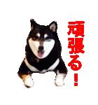 しゃべる柴犬(日常会話編1)(個別スタンプ:21)