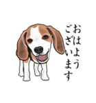 動く!ビーグル犬(個別スタンプ:1)