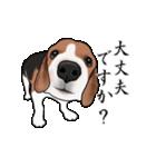 動く!ビーグル犬(個別スタンプ:11)