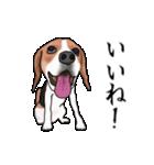 動く!ビーグル犬(個別スタンプ:13)