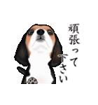 動く!ビーグル犬(個別スタンプ:14)