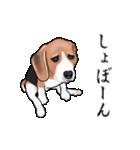 動く!ビーグル犬(個別スタンプ:19)