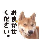 【柴犬写真】よく使う返事とあいさつ(個別スタンプ:08)