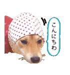 【柴犬写真】よく使う返事とあいさつ(個別スタンプ:10)
