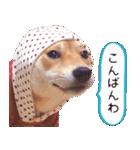 【柴犬写真】よく使う返事とあいさつ(個別スタンプ:11)