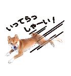 【柴犬写真】よく使う返事とあいさつ(個別スタンプ:13)