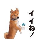 【柴犬写真】よく使う返事とあいさつ(個別スタンプ:24)