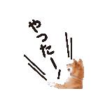 【柴犬写真】よく使う返事とあいさつ(個別スタンプ:25)