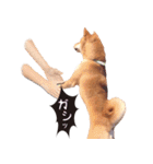 【柴犬写真】よく使う返事とあいさつ(個別スタンプ:29)