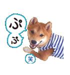 【柴犬写真】よく使う返事とあいさつ(個別スタンプ:30)