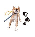 【柴犬写真】よく使う返事とあいさつ(個別スタンプ:32)
