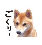 【柴犬写真】よく使う返事とあいさつ(個別スタンプ:36)