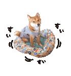 【柴犬写真】よく使う返事とあいさつ(個別スタンプ:40)