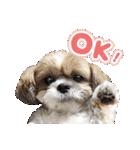 シーズー犬ぽんずとかぼす【よく使う編】(個別スタンプ:01)