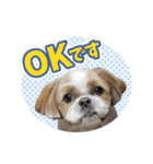 シーズー犬ぽんずとかぼす【よく使う編】(個別スタンプ:02)