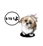 シーズー犬ぽんずとかぼす【よく使う編】(個別スタンプ:03)