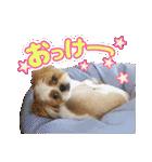 シーズー犬ぽんずとかぼす【よく使う編】(個別スタンプ:04)