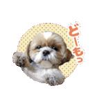 シーズー犬ぽんずとかぼす【よく使う編】(個別スタンプ:08)