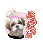 シーズー犬ぽんずとかぼす【よく使う編】(個別スタンプ:09)
