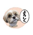 シーズー犬ぽんずとかぼす【よく使う編】(個別スタンプ:11)