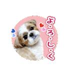 シーズー犬ぽんずとかぼす【よく使う編】(個別スタンプ:12)