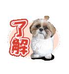 シーズー犬ぽんずとかぼす【よく使う編】(個別スタンプ:13)