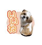 シーズー犬ぽんずとかぼす【よく使う編】(個別スタンプ:15)