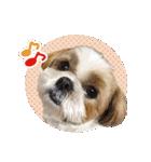 シーズー犬ぽんずとかぼす【よく使う編】(個別スタンプ:19)