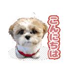 シーズー犬ぽんずとかぼす【よく使う編】(個別スタンプ:22)