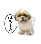 シーズー犬ぽんずとかぼす【よく使う編】(個別スタンプ:23)
