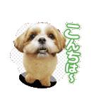 シーズー犬ぽんずとかぼす【よく使う編】(個別スタンプ:24)