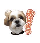 シーズー犬ぽんずとかぼす【よく使う編】(個別スタンプ:25)