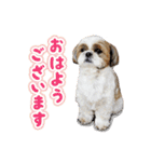 シーズー犬ぽんずとかぼす【よく使う編】(個別スタンプ:26)