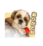 シーズー犬ぽんずとかぼす【よく使う編】(個別スタンプ:29)