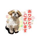 シーズー犬ぽんずとかぼす【よく使う編】(個別スタンプ:30)