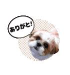 シーズー犬ぽんずとかぼす【よく使う編】(個別スタンプ:31)