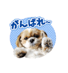 シーズー犬ぽんずとかぼす【よく使う編】(個別スタンプ:33)