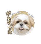 シーズー犬ぽんずとかぼす【よく使う編】(個別スタンプ:34)