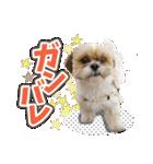 シーズー犬ぽんずとかぼす【よく使う編】(個別スタンプ:36)
