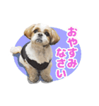 シーズー犬ぽんずとかぼす【よく使う編】(個別スタンプ:38)