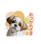 シーズー犬ぽんずとかぼす【よく使う編】(個別スタンプ:39)