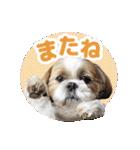 シーズー犬ぽんずとかぼす【よく使う編】(個別スタンプ:40)