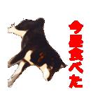 しゃべる柴犬(日常会話編2)(個別スタンプ:14)