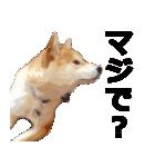 しゃべる柴犬(日常会話編2)(個別スタンプ:24)