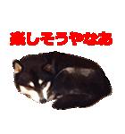 しゃべる柴犬(日常会話編2)(個別スタンプ:35)