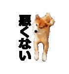 しゃべる柴犬(日常会話編2)(個別スタンプ:36)