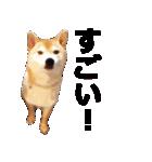 しゃべる柴犬(日常会話編2)(個別スタンプ:39)