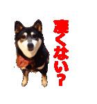 しゃべる柴犬(日常会話編2)(個別スタンプ:40)